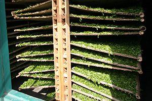 Thé Vert séchage